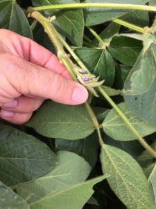 soybean infested with aphids