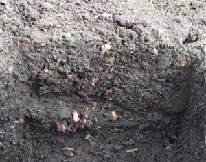 corn kernel seed in trench