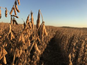soybeans-close-pods