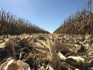 ground level view of a partially harvested corn field