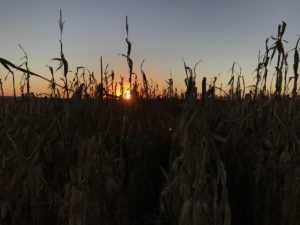 Another sunset behind standing corn.