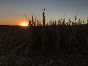 Sunset behind standing corn.