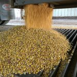 emptying corn truck into grain pit